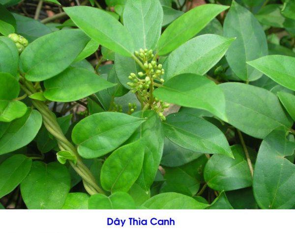 day-thia-canh-vi-thuoc-chua-tri-tieu-duong-dac-biet1