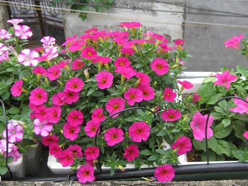 cách trồng hoa dạ yến thảo viền