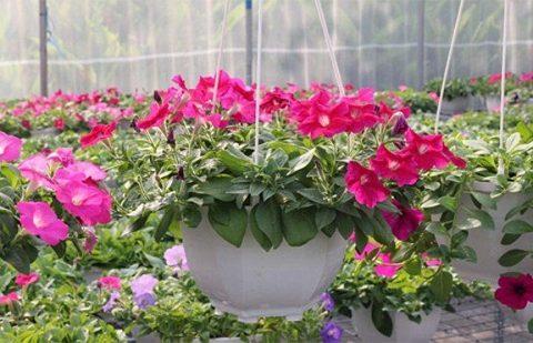 Mua hạt giống hoa dạ yến thảo viền rủ – cách trồng cách chăm sóc