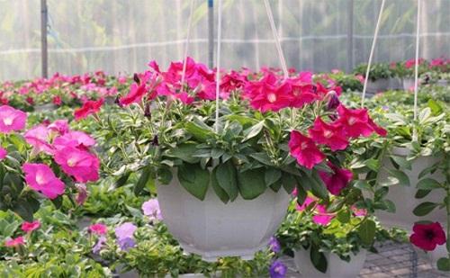 cung cấp hạt giống hoa dạ yến thảo vườn rủ