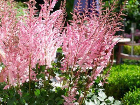Cách trồng hoa lạc tân phụ từ hạt giống cực dễ bao hoa nở đẹp