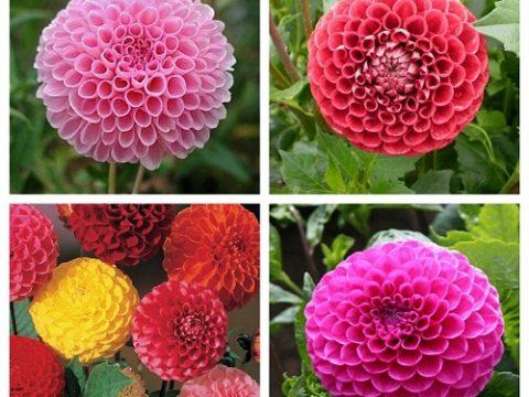 Mua hạt giống hoa thược dược chất lượng tỉ lệ nảy mầm cao