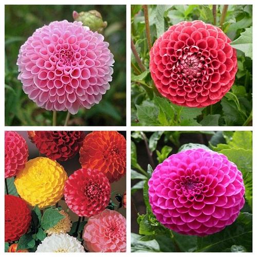 hoa thược dược trồng bằng hạt giống