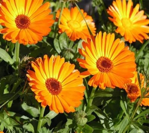 Mua hạt giống hoa cúc xuxi và cách trồng hoa cúc xuxi nở hoa đẹp