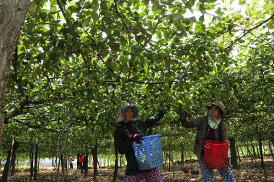 Tham quan vườn táo ninh thuận với những trải nghiệm thú vị cho du khách